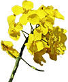 館山 菜の花