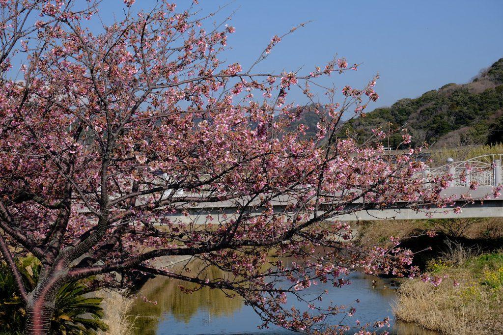 保田川沿いの頼朝桜